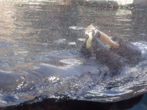La loutre mange du poisson.