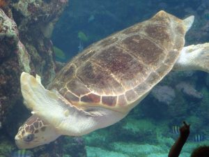 La tortue nage dans le grand aquarium.